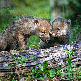 Les Palenik - Two young wolf pups