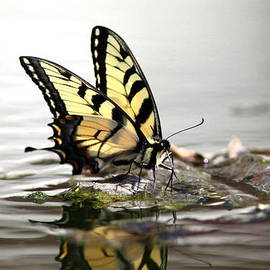 Travis Truelove - Unusual Setting for a Butterfly - Water and Swallowtail