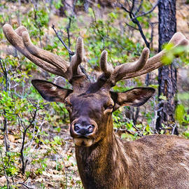 Bob and Nadine Johnston - UP Close and Personal with an ELK