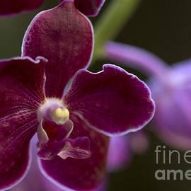 Meg Rousher - Vanda Orchid