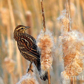Chris Anderson - Variations on A Female Red Winged Blackbird