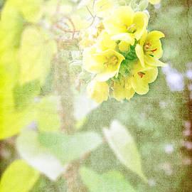 Lali Kacharava - Verbascum bombyciferum Polar Summer