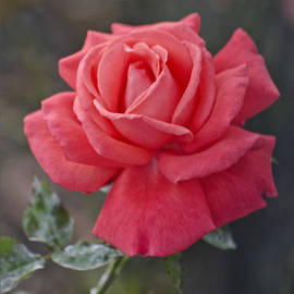AGeekonaBike Photography - Vibrant Red Pastel Rose