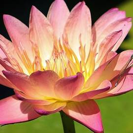 Bruce Bley - Victorian Waterliliy