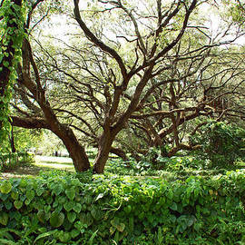 Aimee L Maher Photography and Art - Vines and Oaks