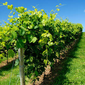 Norman Pogson - Wine Making Vines