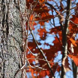 Rowena Throckmorton - Vines on Tree with Red Autumn Leaves