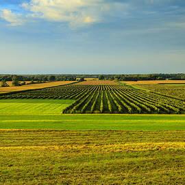 Rachel Cohen - Vineyards in Sunlight