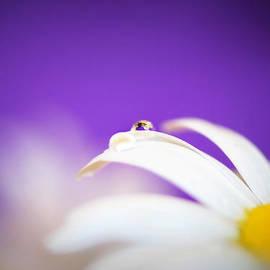 Lisa Knechtel - Violet Daisy Dreams