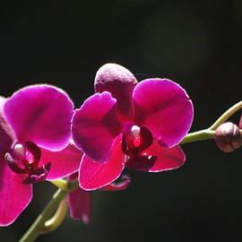 Dimitry Papkov - Violet Orchids