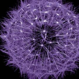 Debra     Vatalaro - Violet  Puff
