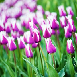 Roksana Bashyrova - Violet tulips