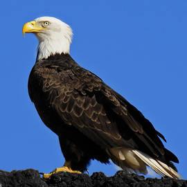 Lara Ellis - Virginia Bald Eagle
