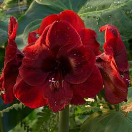 Georgia Mizuleva - Vivid Scarlet Amaryllis Flowers - Happy Holidays