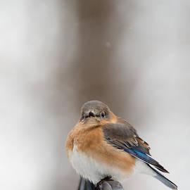 Jack Nevitt - Waiting for Spring Bluebird
