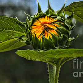 Kathleen K Parker - Waiting for the Sun Sunflower