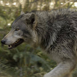 Wes and Dotty Weber - Walking With A Wolf D2273
