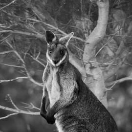 Wallaby 2