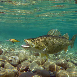 Walleye and Live Target Lure