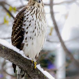 Julie Palencia - Watchful Eye of a Hawk