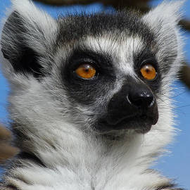 Margaret Saheed - Watching His Group - Ring-tailed Lemur