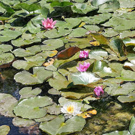 Dominique Amendola - Water lilies in France
