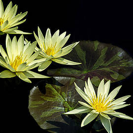 Julie Palencia - Water Lilies in Yellow