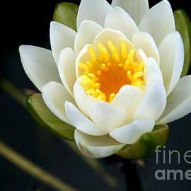 Neal  Eslinger - Water Lily at Roseland Lake