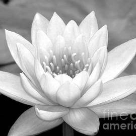 Sabrina L Ryan - Water Lily in Black and White