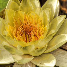 Geraldine Scull   - Water lily in HDR