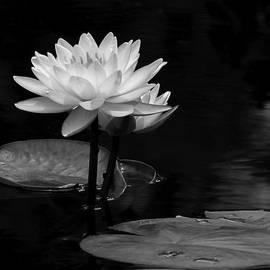 Dawn Currie - Water Lily Pair