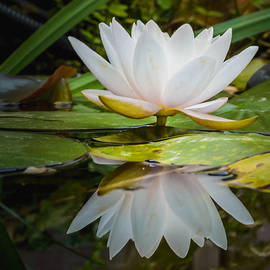 Yvon van der Wijk - Water-lily reflection
