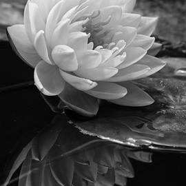 Dawn Currie - Water Lily Reflections II