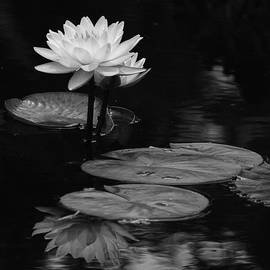 Dawn Currie - Water Lily Serenity
