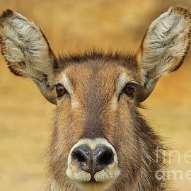 Hermanus A Alberts - Waterbuck Curious Stare