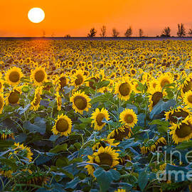 Inge Johnsson - Waxahachie Sunflowers