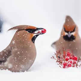 Mikko Karjalainen - Waxwings in snowfall
