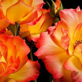 Onyonet  Photo Studios - Westerland Roses Afire