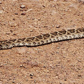 Tom Janca - Western Diamondback Rattle Snake