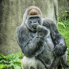 LeeAnn McLaneGoetz McLaneGoetzStudioLLCcom - Western Lowland Gorilla