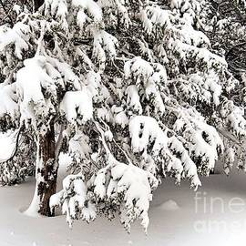 Janice Drew - Wet Heavy Snow on Pines