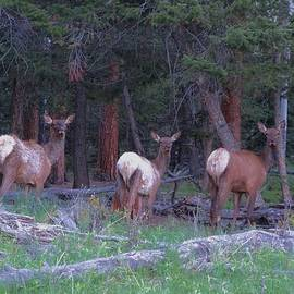 Dan Sproul - Elk In Rocky Mountain National Park
