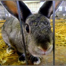 Kathy Barney - Whats Up Doc American Sable Rabbit