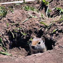Dan Sproul - Ground Squirrel