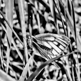 Leif Sohlman - white and blue 2013 BW-3 - Butterfly with white wings and blue stripes sitting on a grass straw