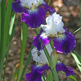 Tom Janca - White And Blue Iris Stalks At Boyce Thompson Arboretum