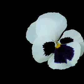 Robert Estes - White and Purple Pansy