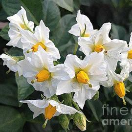 Conni Schaftenaar Elderberry Blossom Art - Potato Blossoms White and Yellow Garden Blossoms