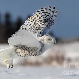 Mircea Costina Photography - White angel - Snowy owl in flight