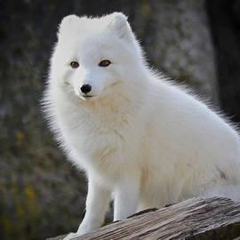 Athena Mckinzie - White Arctic Fox